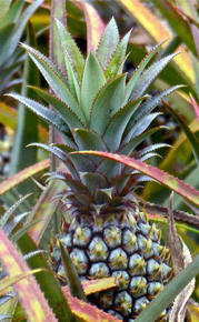 ananas-maurice-portrait