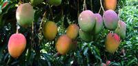 Mangues (c) Cirad