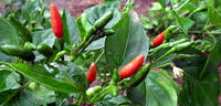 Développer la filière ti piment de l'île Rodrigues